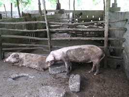 porcs 4