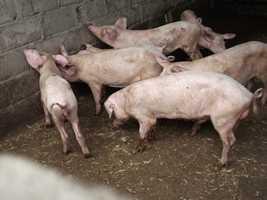 porcs 5