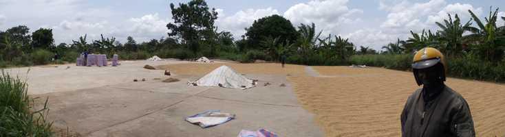 séchage du riz au Togo